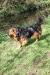 Bernese mountain dog x golden retriever