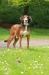 Greyhound cross