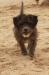 Terrier cross