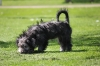 Tibetan terrier x Schapendoes