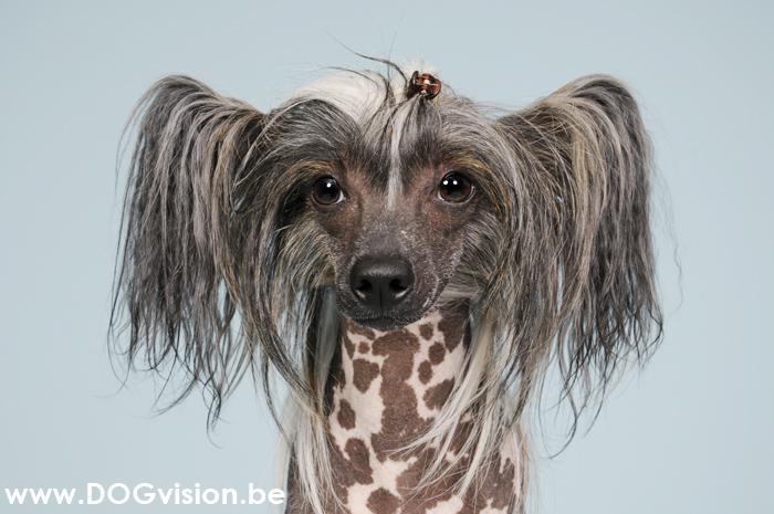 Mexican Hairless Canis Bonus